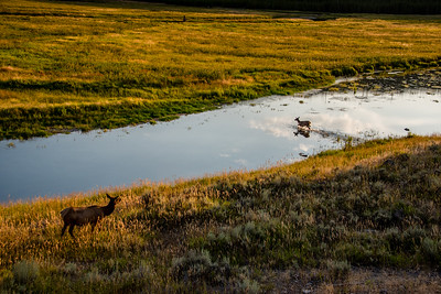 Elk in a river in Yellowstone National Park. August 2017.