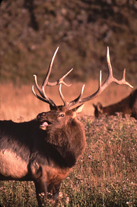 This big bull elk is tasting the air to determine if any of his cows are ready.