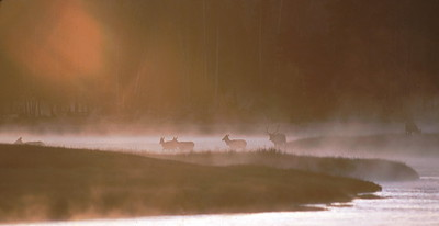 Yellowstone_Madison_River_Elk-in-the-Mist