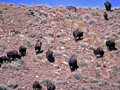 These Buffalo have crossed the Madison River and climbing this hill to graze the pasture on the other side.