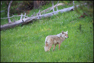 Fox, Hayden Valley  Hayden Valley is a large, sub-alpine valley in Yellowstone National Park straddling the Yellowstone River between Yellowstone Falls and Yellowstone Lake. The valley is well known as one of the best locations to view wildlife in Yellowstone.