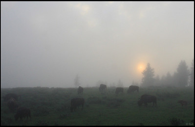 Bison Grazing at Hayden Valley in a Foggy Morning, Sunrise