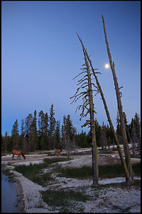 Deer grazing at West Thumb Geyser Basin, Moon Rising, Yellowstone National Park