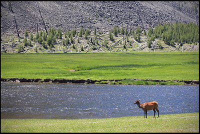 Mule Deer on the bank of Madison River