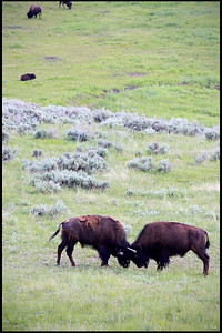 Bison fighting, Lamar Valley, Yellowstone National Park