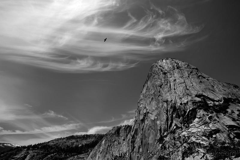 A Northern Raven (Corvus corax flies above Liberty Cap in Yosemite National Park.