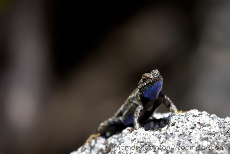 A western fence lizard (Sceloporus occidentalis) with it's blue belly is alert and poised upon a rock in Yosemite National Park.