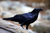"Raven Portrait (Corvus corax). <br /> <br /> ""Consider the ravens: They do not sow or reap, they have no storeroom or barn; yet God feeds them. And how much more valuable you are than birds!"" <br /> - Luke 12:24"