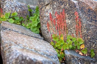 Yosemite Alpine Wildflowers