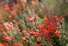 Red Yosemite Wildflowers