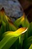 Corn Lily Lit