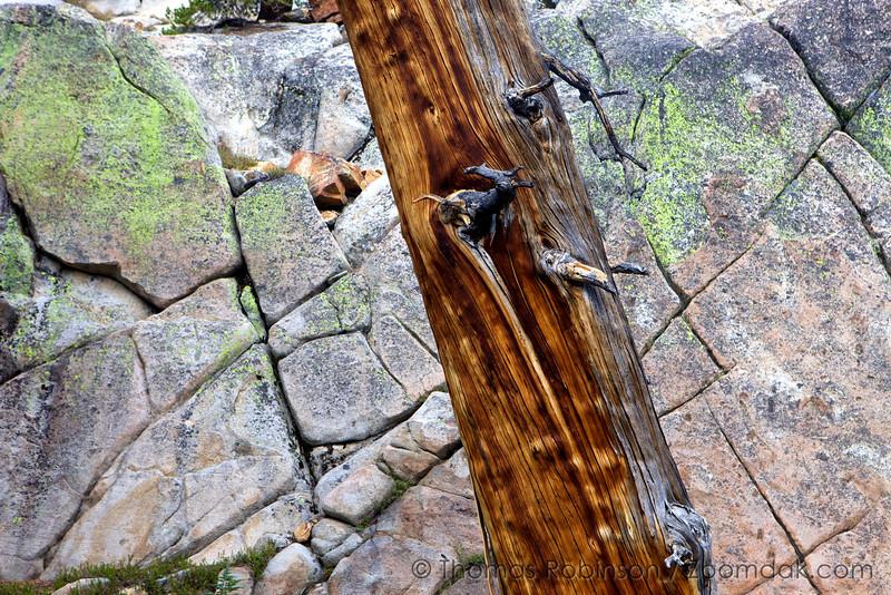 Tilted Tree - Yosemite Backcountry
