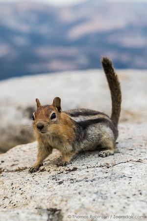 Chipmunk Portrait