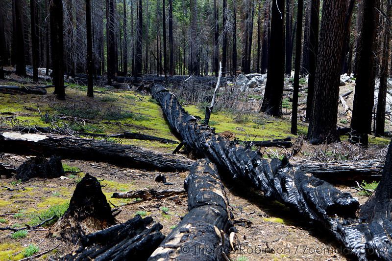 Charred remains of trees lay scattered across the forest as a result of wildfire - wildfire that keeps Sequoia trees alive and thriving. in the Mariposa Grove.