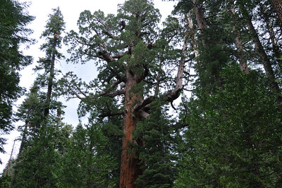 The Grizzly Giant - it's largest branch has a diameter of over 7 feet
