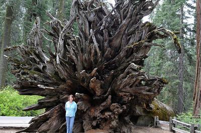 A Fallen Sequoia