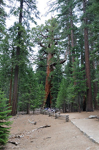 The Grizzly Giant - 5th largest tree in the world by volume.