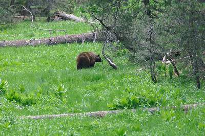 An adult grizzly bear on the way to Tioga Pass road