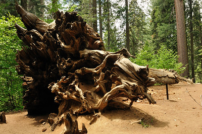 Part of a fallen sequoia tree