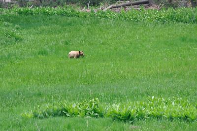 An adolescent bear in a meadow near Tioga Pass road