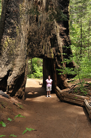 Tunnel Tree in Tuolomne Grove