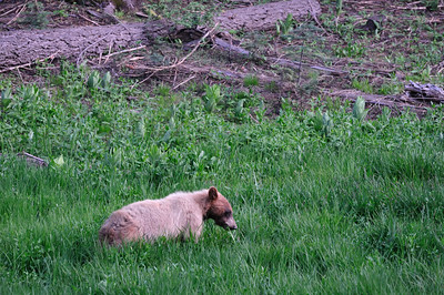 On our way back from exploring the Tioga Pass area, the adolescent bear was still foraging in the same area, but this time, closer to the road