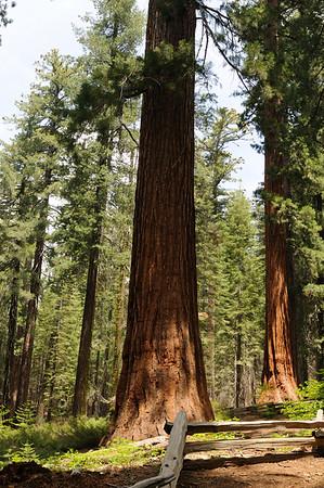 A Sequoia in Tuolomne Grove