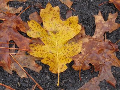YOS-121201-0002 Autumn Leaves in Yosemite