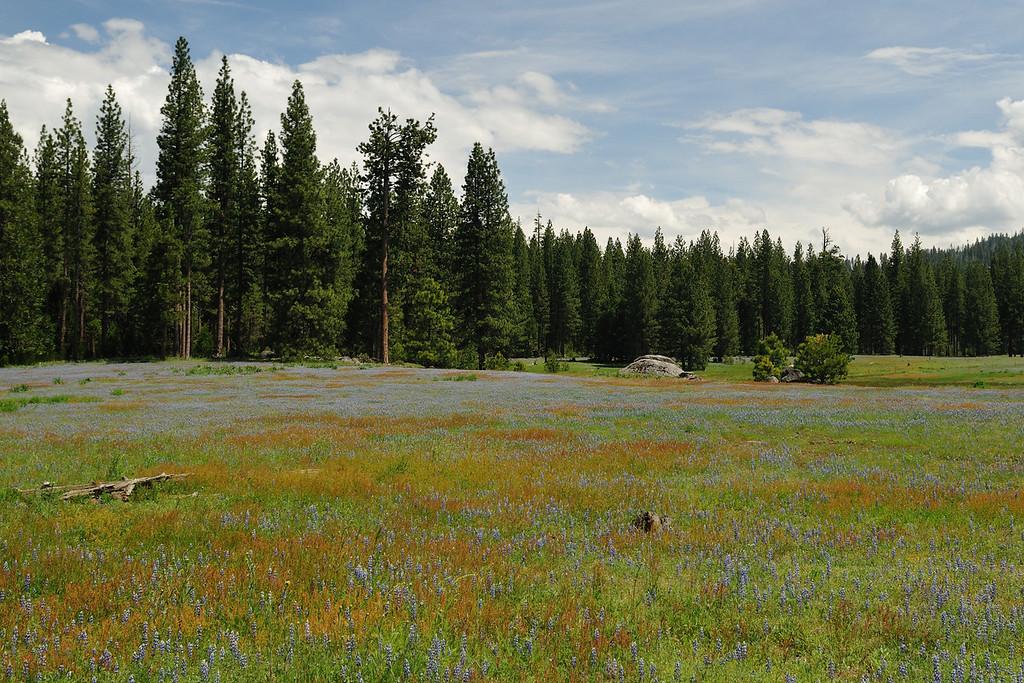 Wildflowers in the Hetch Hetchy area