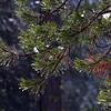 YOS-160219-0006<br /> Dripping Needles