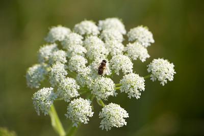 YOS-130630-5845 Bee at work