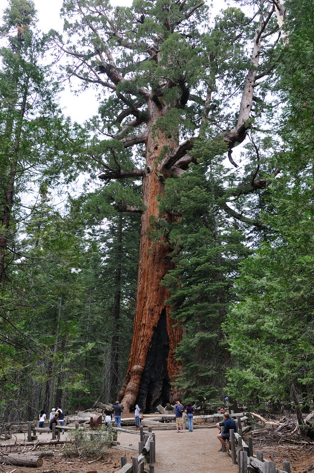 The Grizzly Giant - 5th largest tree in the world