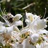 YOS-120617-0002<br /> Bee in Western Azalea