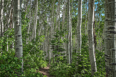Aspens in Deer Valley, Utah