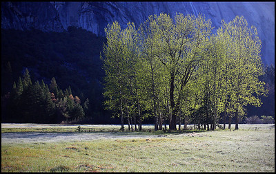 Aspen stand on Ahwahnee Meadow, sunrise