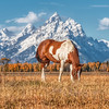 Painted Horse at Grand Teton National Park, Wyoming