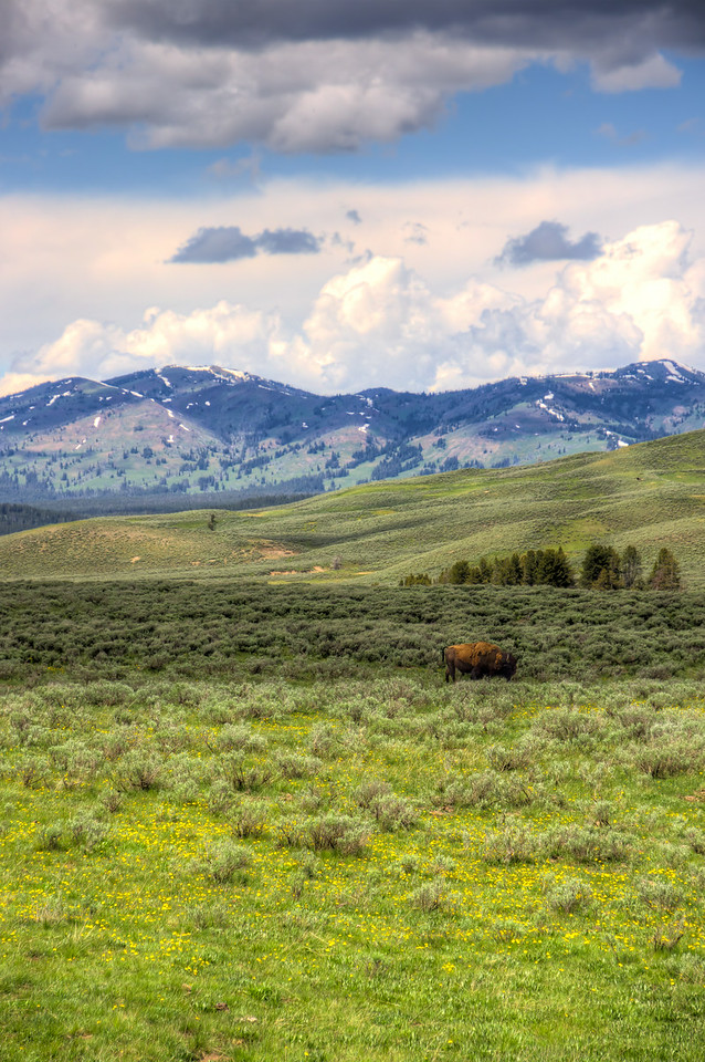 Bison Landscape in Yellowstone