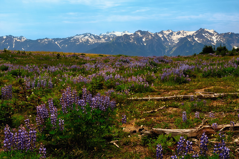 Lupine Proliferation at Olympic National Park