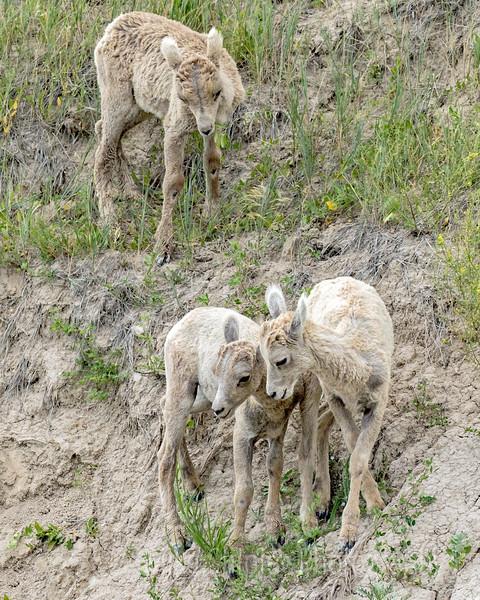 Big Horn Sheep Lambs