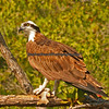OSPREY EVERGLADES NATIONAL PARK