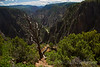 Tree overlooks the Canyon, Black Canyon at Gunnison National Park