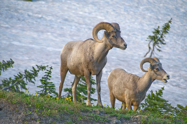 BIG HORN SHEEP OF THE GOING TO THE SUN ROAD
