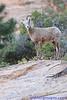 Mountain sheep in Zion NP, UT