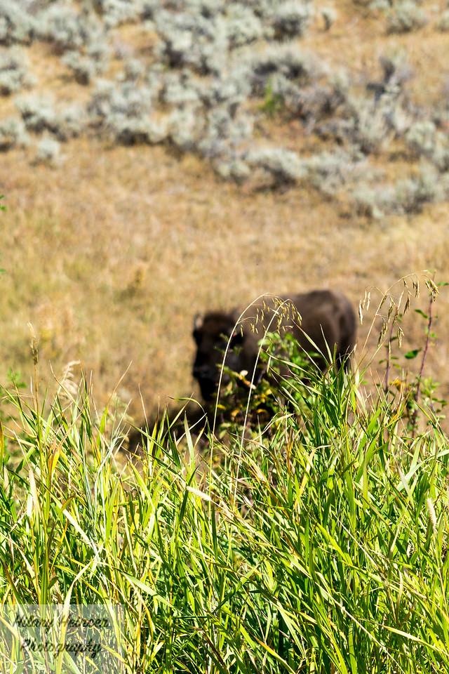 Hidden Bison