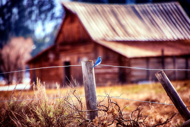 Blue Bird at John Moulton Barn