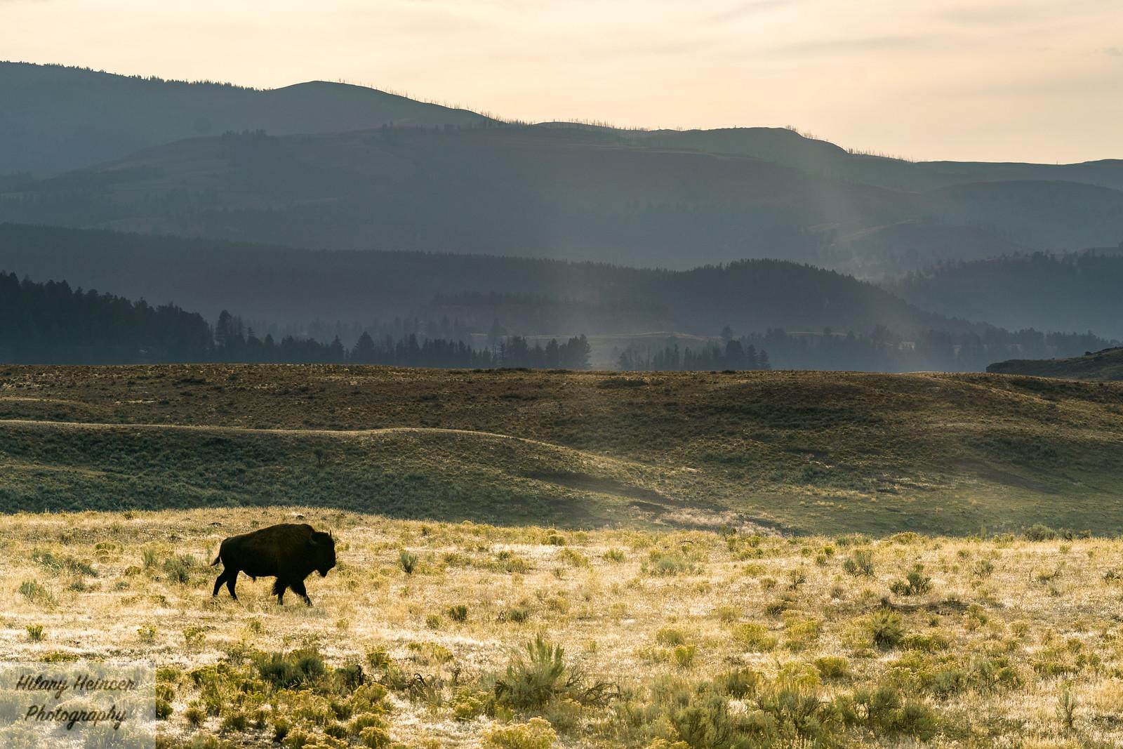 Lone Bison