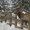 While waiting out a blizzard in Estes Park Colorado, I spotted this male elk pacing and making incredible noises. I realized that he was on one side of the fence, and all of the females were on the other. I anticipated his jump and was able to catch this amazing sequence of photos.