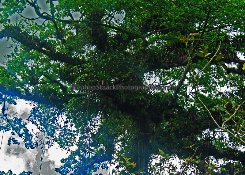 rain forest canopy