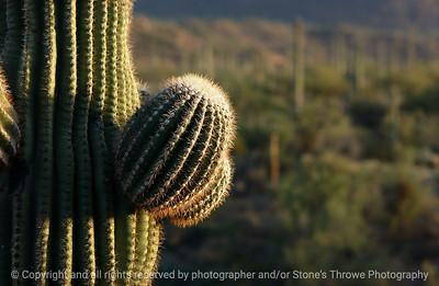 015-cactus_detail-saguaro_ntl_monument_az-03dec06-0061