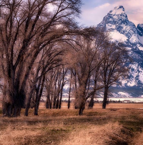 Cottonwood Trees along Grand Teton National Park, Wyoming